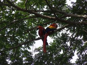 Macaws in the trees!